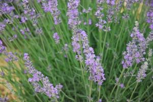 Lavender Jul 7