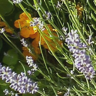 Lavender and Nasturtium June 2011