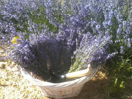 Bundles of fresh lavender I cut this morning