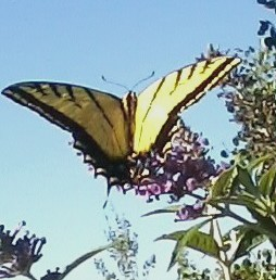 Butterfly attracted to the Butterfly bush