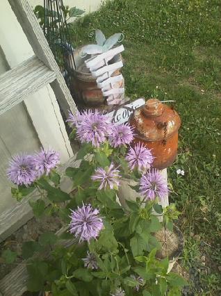 Purple Bee Balm (Monarda)