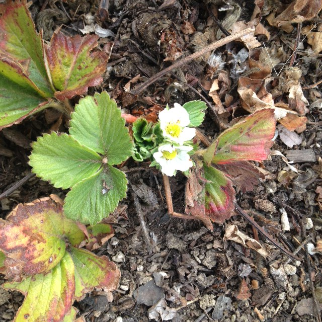 Strawberries in Bloom